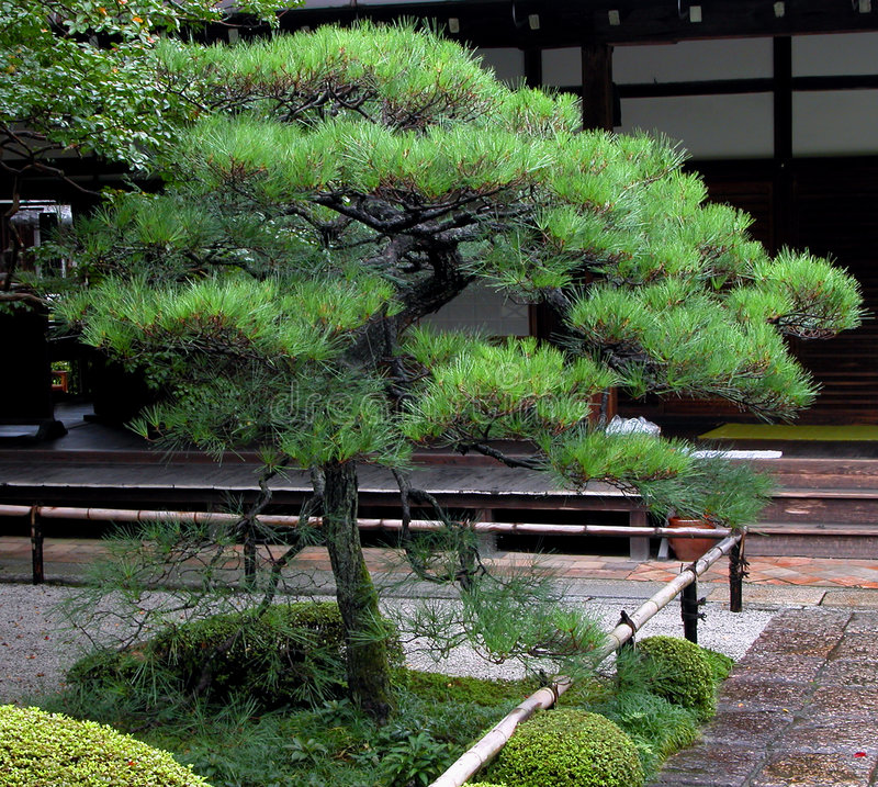 Download Sosna japońska zdjęcie stock. Obraz złożonej z tradycja - 33612