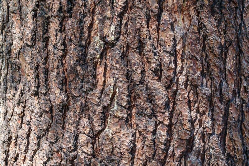sosna korowata Brown tekstura stary drzewo fotografia stock