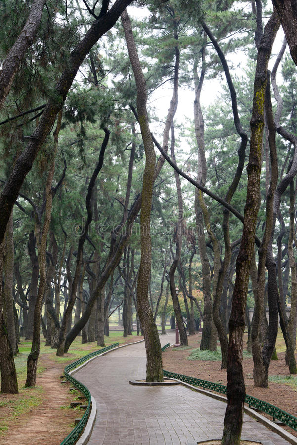 Sosna las i wyginająca się ścieżka obraz royalty free