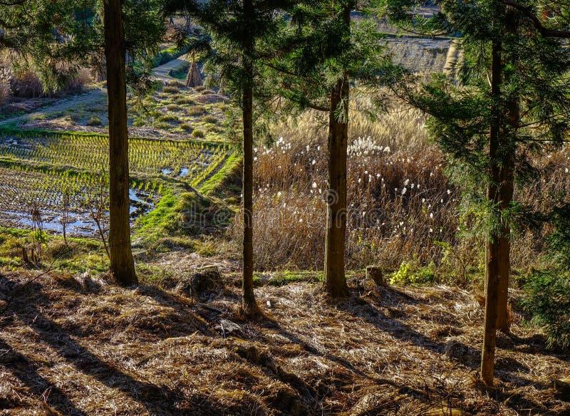 Sosna las w Gifu, Japonia obraz royalty free