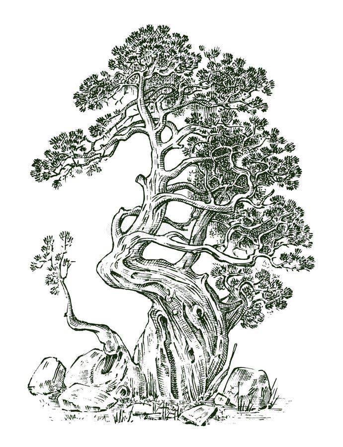 Sosna lub Wiecznozielony jałowiec, cyprys odizolowywaliśmy przedmiot grawerująca ręka rysująca w starym rocznika nakreśleniu trop royalty ilustracja