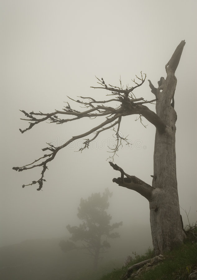 sosna mgły zdjęcie stock