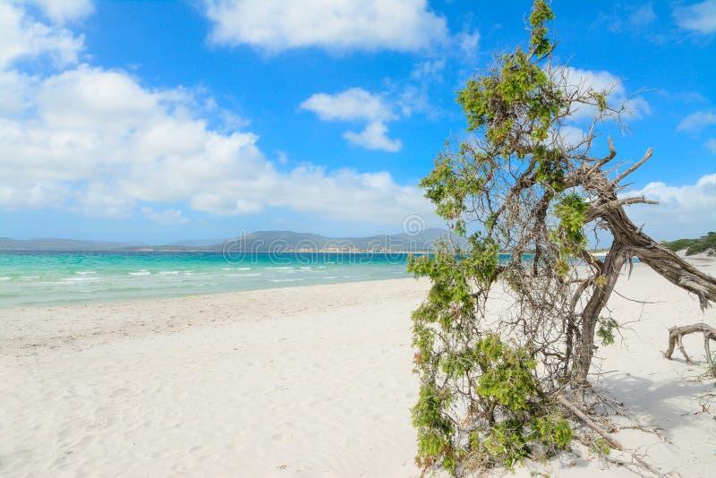 Sosna morzem w Maria Pia plaży fotografia stock