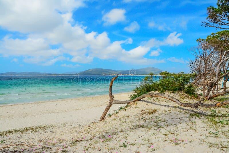 Sosna morzem w Maria Pia plaży obrazy stock