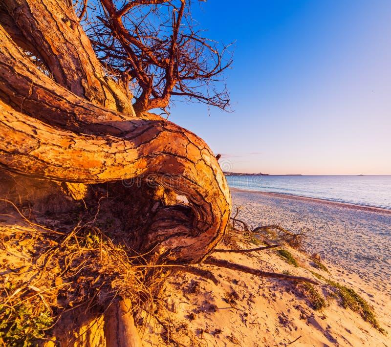 Sosna na plaży przy półmrokiem fotografia royalty free