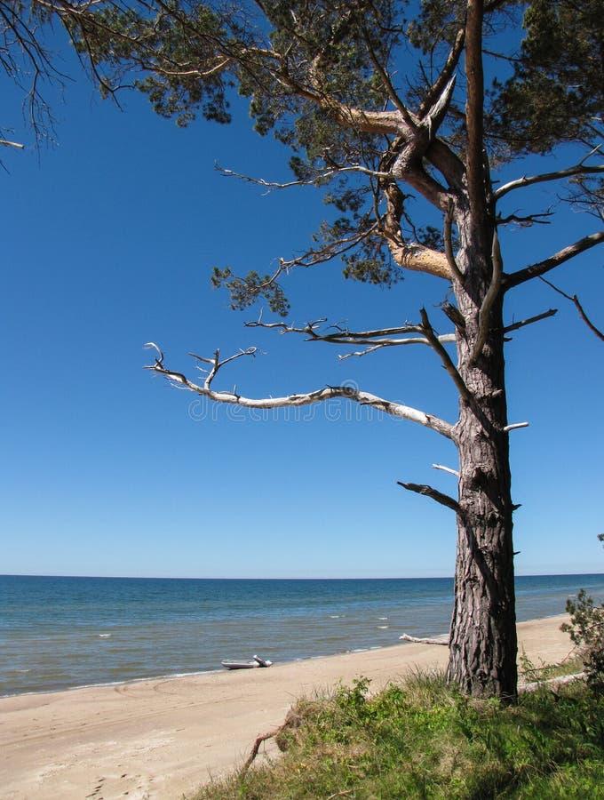 Sosna na seashore zdjęcie royalty free