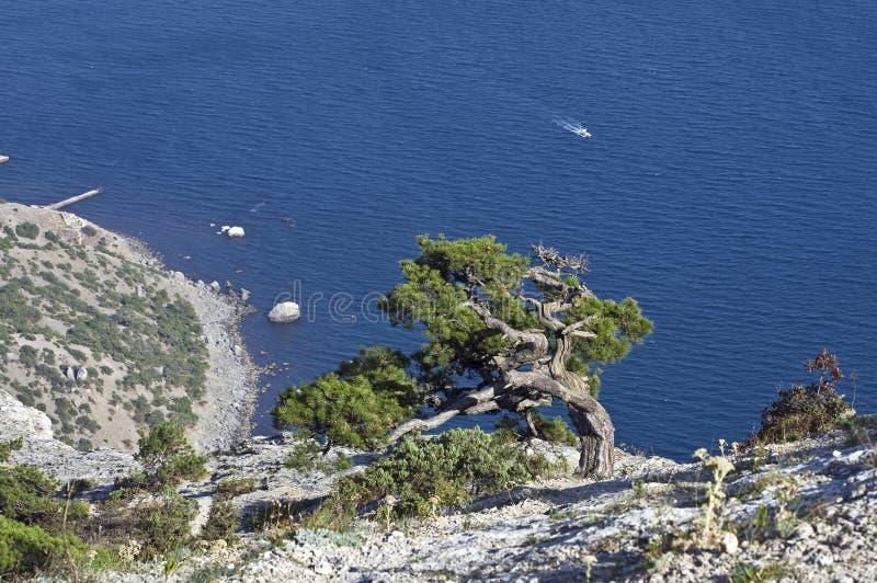 Sosna nad morzem. fotografia stock
