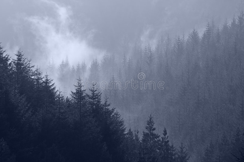 sosna najlepsze drzewo mgły obraz royalty free