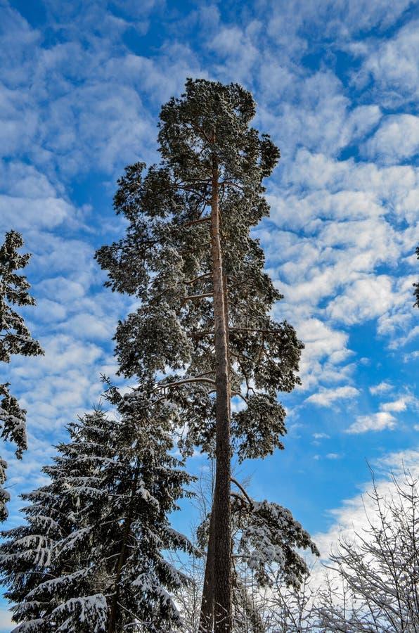 Sosna przeciw niebu w zimie fotografia royalty free