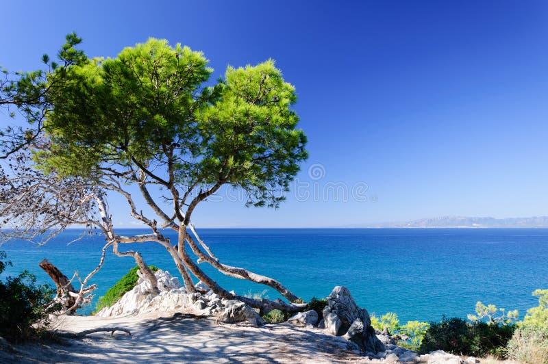 Sosna przy seashore zdjęcie royalty free