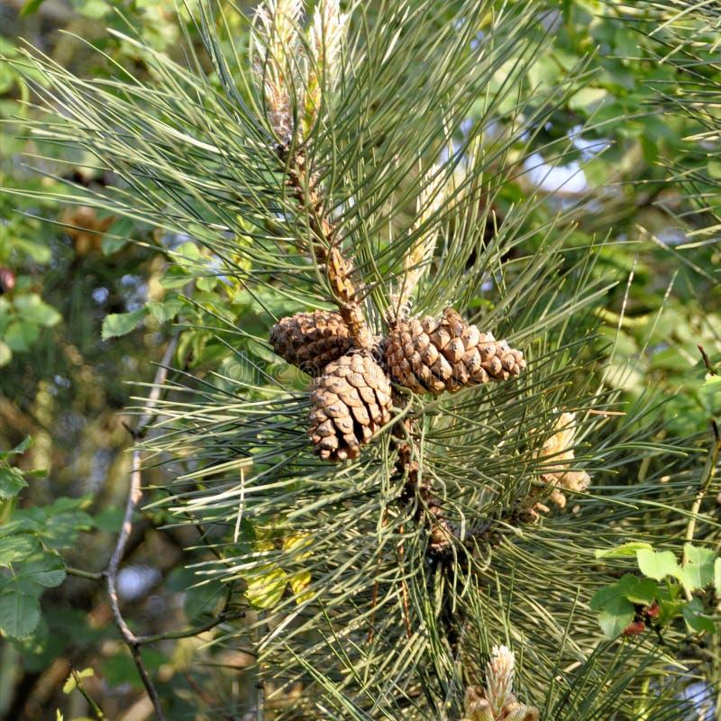 Sosna rożek na wiecznozielonej sosny trzy gałąź Jedlina, conifer, świerczyna zamknięta w górę, zamazany tło zdjęcie stock