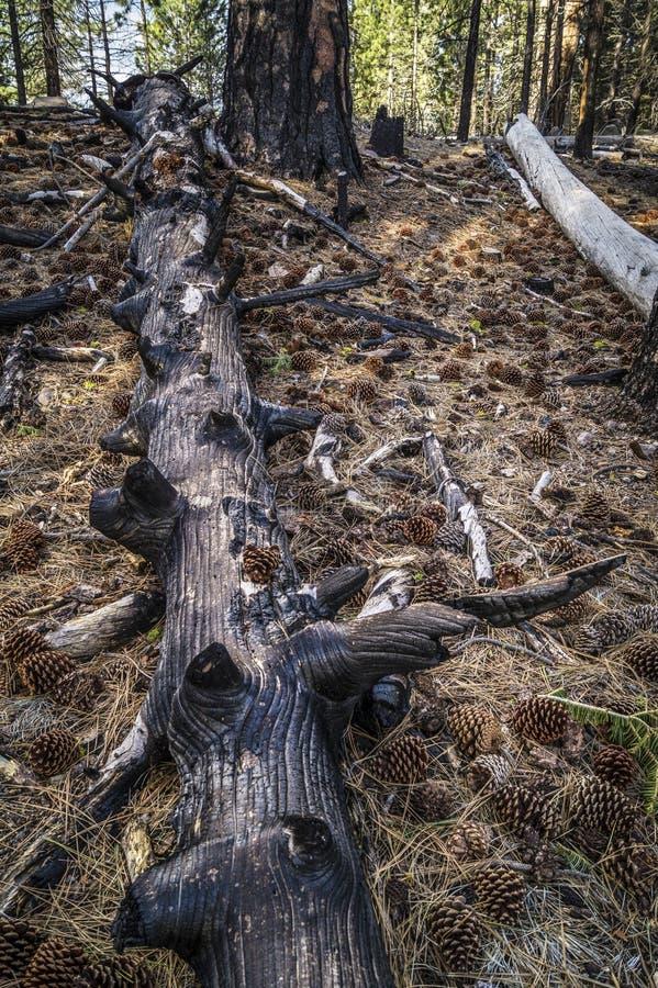 Sosna rożki i palący drzewo, Lassen Powulkaniczny park narodowy obrazy royalty free