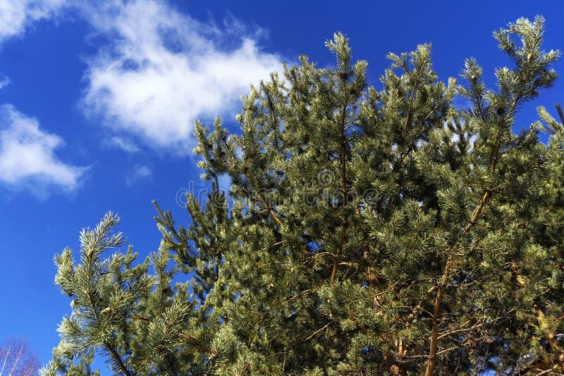 sosna rozgałęzia się na tle błękitny wiosny niebo zdjęcie stock