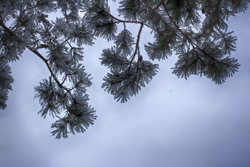 Sosna rozgałęzia się w śniegu, makro- Śnieżyste igły wiecznozielony drzewo fotografia stock