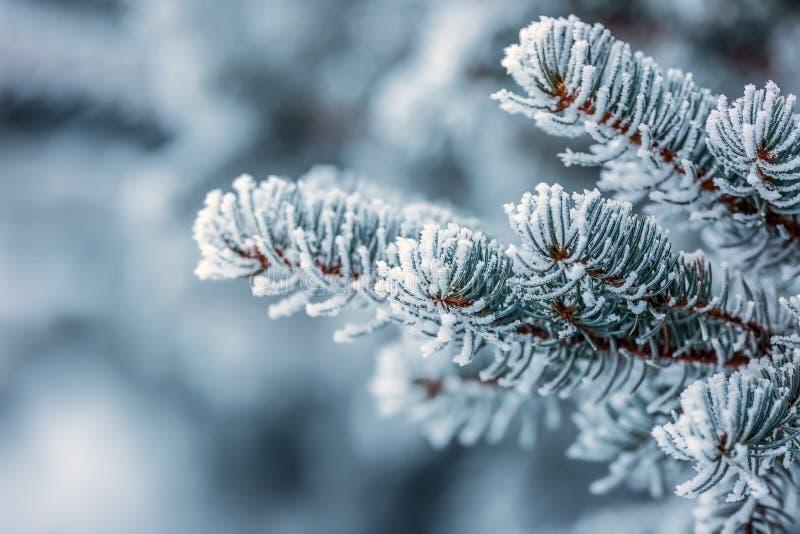 Sosna rozgałęzia się zakrywającego mróz w śnieżnej atmosferze zdjęcie royalty free
