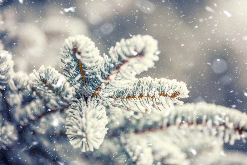 Sosna rozgałęzia się zakrywającego mróz w śnieżnej atmosferze zdjęcia stock