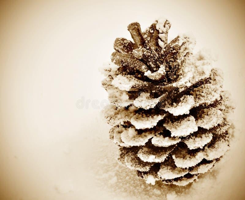 sosna szyszkowy śnieg fotografia royalty free