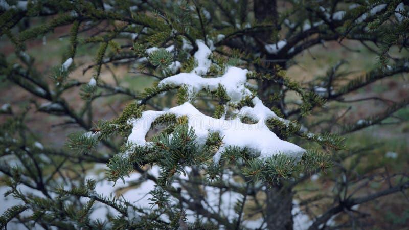 Sosna z niektóre śniegiem na one zdjęcie royalty free