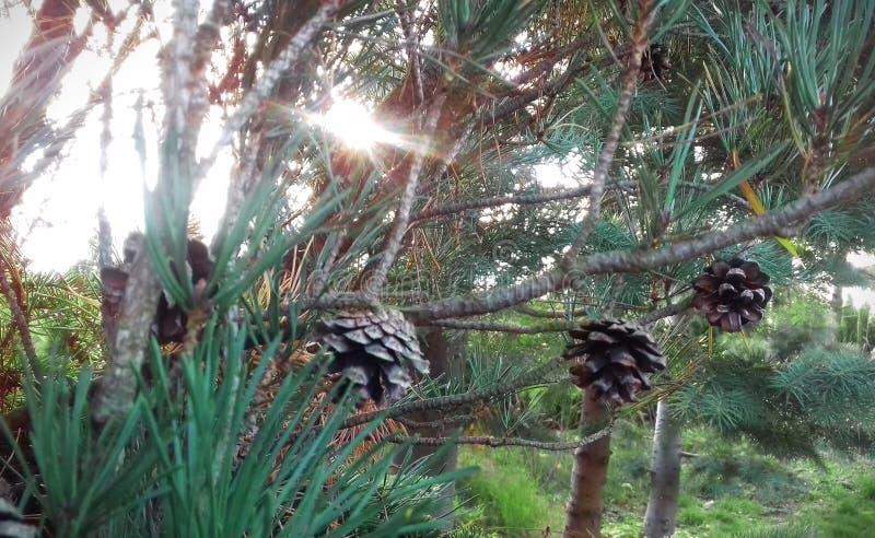 Sosna z rożkami w wczesnej jesieni obrazy stock