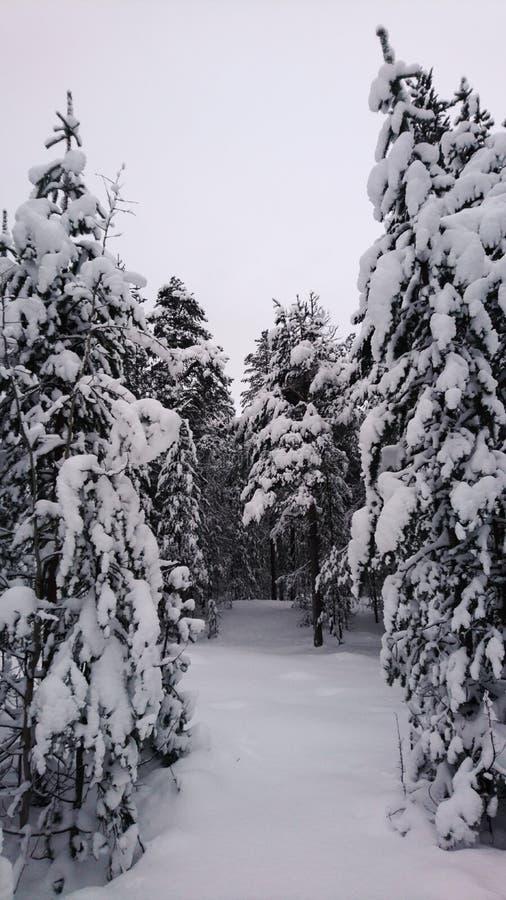 sosna zakrywający śnieg zdjęcia royalty free