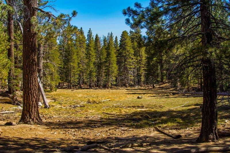 Sosnowa lasowa łąka zdjęcia stock