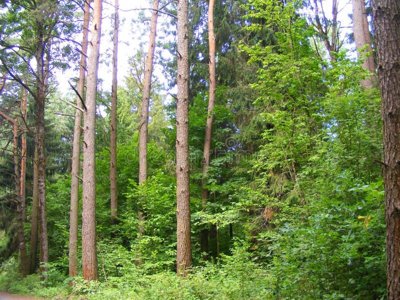 Sosnowa lasowa wieś, konserwacja obrazy royalty free