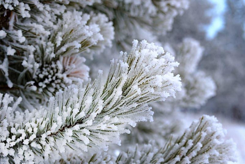 Sosnowe igły na gałąź zakrywają z śniegu mrozem w surowym mrozie zdjęcie stock
