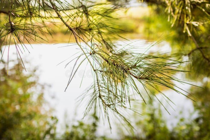 Sosnowe igły z Małym Rolnym stawem w tle obrazy royalty free