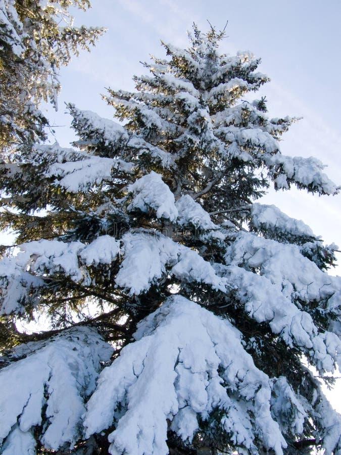 sosnowi śnieżni drzewa obrazy royalty free