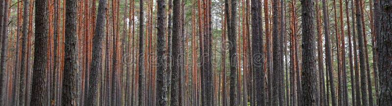 Sosnowi lasowi drzewni bagażniki zdjęcia royalty free