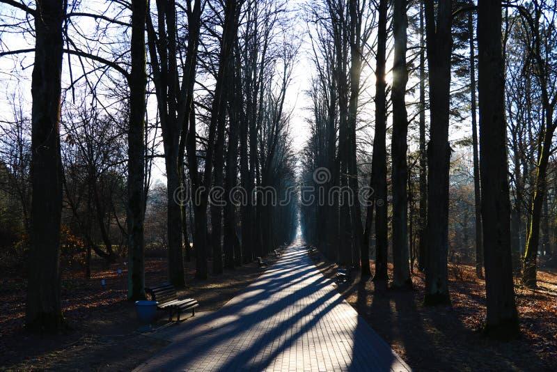Sosnowi lasy w zwrotnikach są bogaci tworzą światu tlen w kształtują teren zielonego tło fotografia royalty free