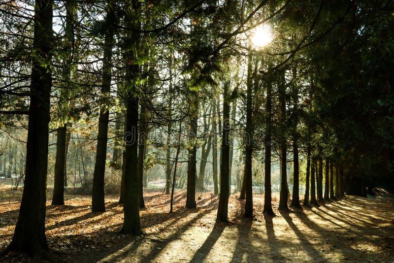 Sosnowi lasy w zwrotnikach są bogaci tworzą światu tlen w kształtują teren zielonego tło zdjęcie stock