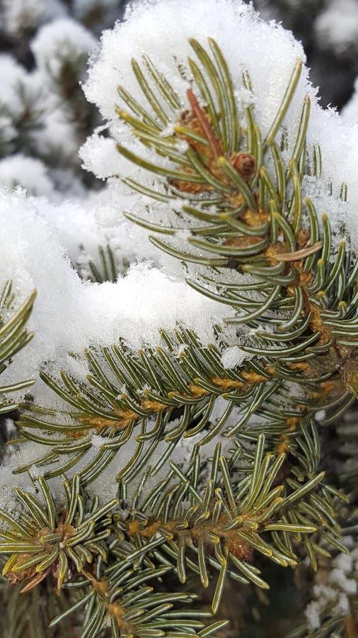 Sosnowy świeży śnieg fotografia royalty free