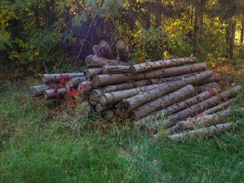 Sosnowy bagażnika kłamstwo w polanie Zbierający drewno, ciie w dół drzewa fotografia royalty free