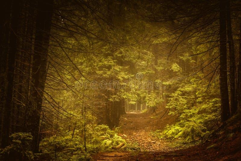 Sosnowy ciemny jesień las w mgle zdjęcie royalty free