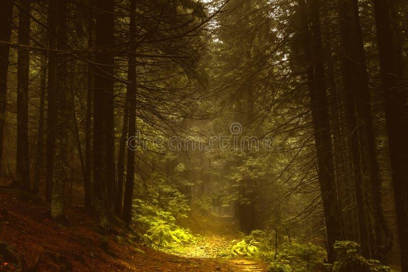 Sosnowy ciemny jesień las w mgle zdjęcia stock