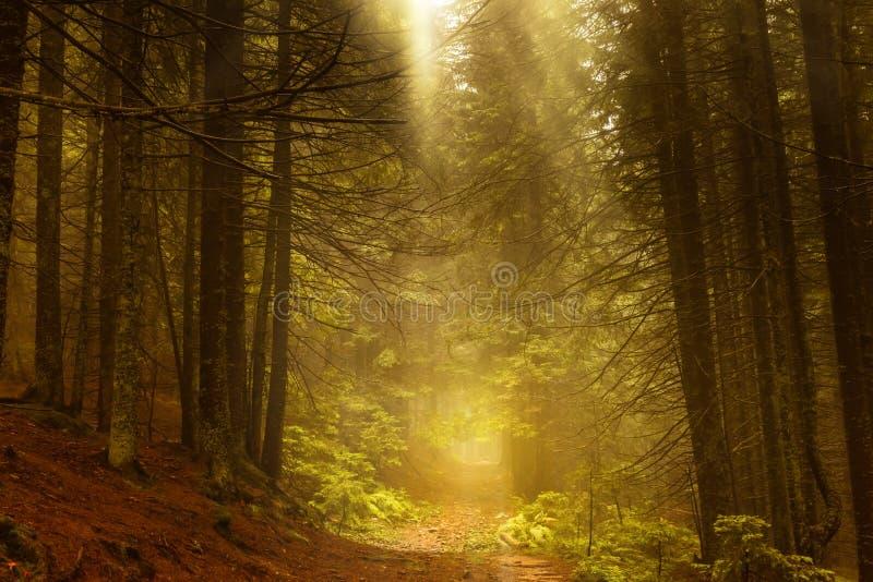 Sosnowy ciemny jesień las w mgle fotografia royalty free