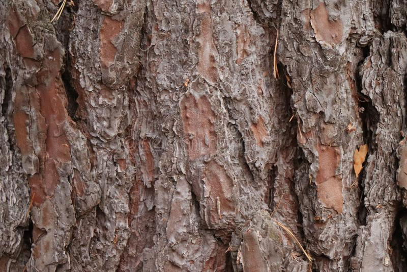 Sosnowy conifer drzewnej barkentyny szczegół - lasowy wydanie fotografia royalty free