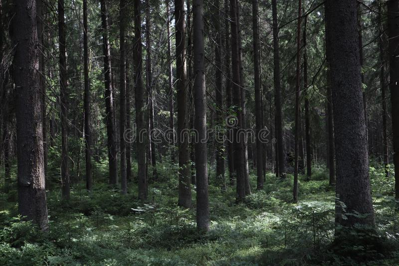 Sosnowy g?szcz Lasowy gąszcz, sosny w lasowym Świątobliwym Petersburg regionie Rosja, Toksovo Ciemna przerażająca sosnowa lasowa  obrazy stock