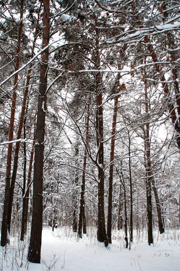 Sosnowy gaj śmiecący z śniegiem obraz royalty free