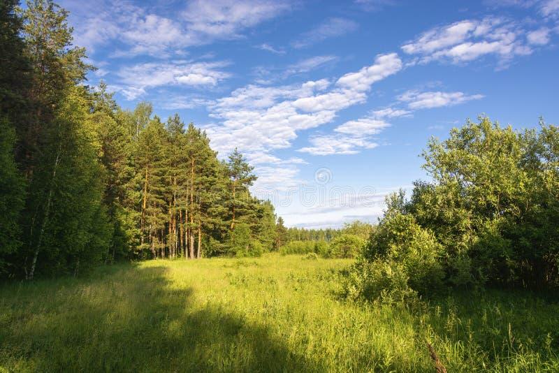 Sosnowy gaj w jaskrawych promieniach położenia słońce i piękny chmurny niebo zdjęcie stock
