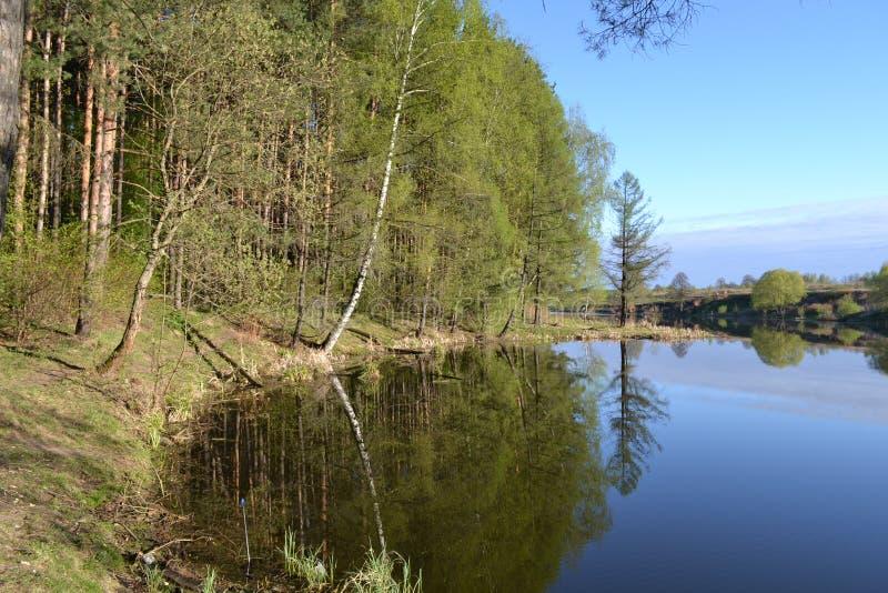 Sosnowy las blisko jeziora w wczesnym poranku Wiosna obrazy stock