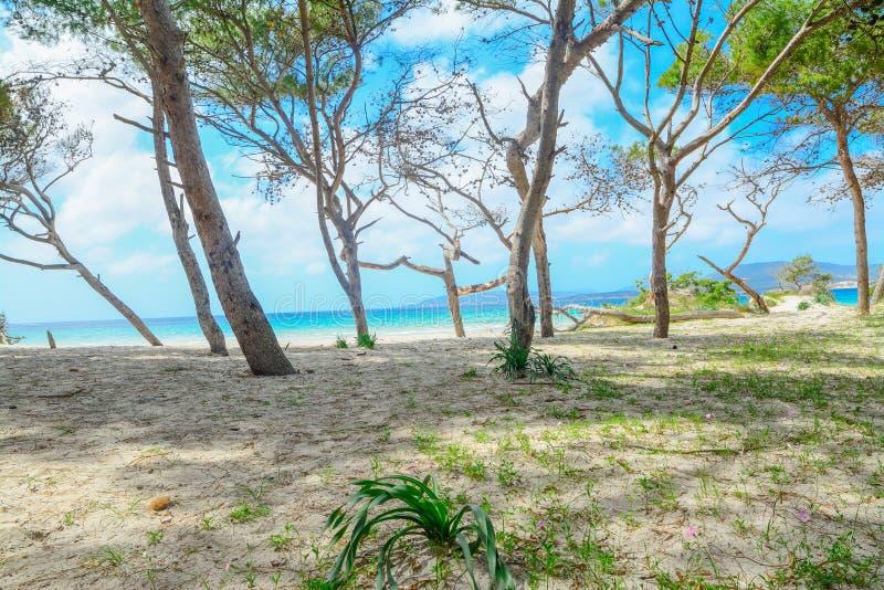 Sosnowy las brzeg w Maria Pia plaży zdjęcia stock