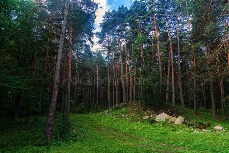 Sosnowy las i duzi głazy w pięknym dniu zaświecamy obraz stock