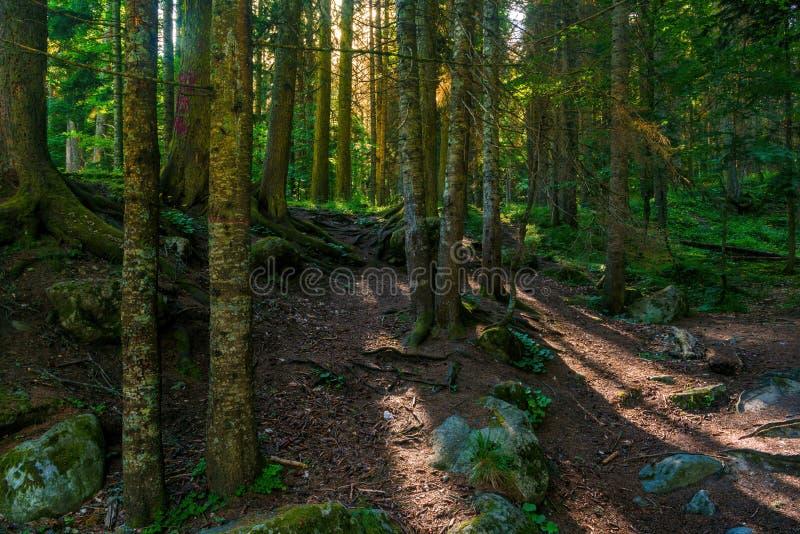 Sosnowy las i duzi głazy w pięknym dniu zaświecamy zdjęcia stock