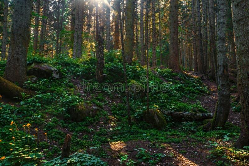 Sosnowy las i duzi głazy w pięknym dniu zaświecamy zdjęcie stock