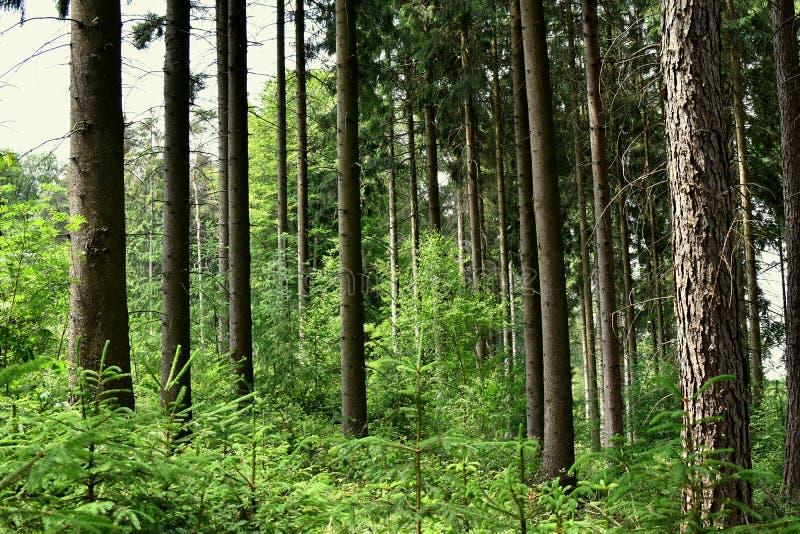Sosnowy las i góry w Niemcy zdjęcie royalty free