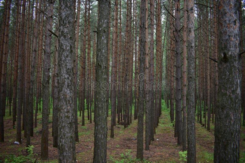 Sosnowy las jest bezpłodny, tam jest praktycznie żadny pyłem obrazy stock