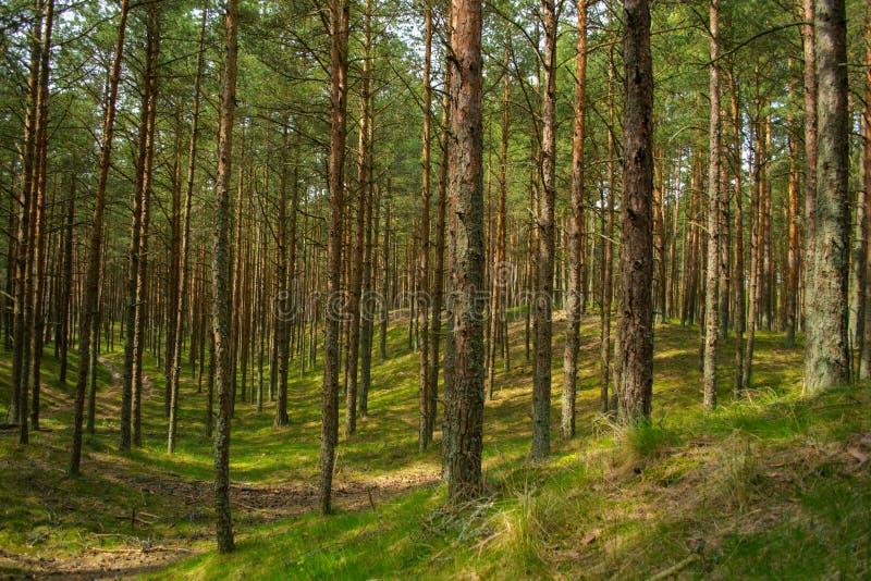 Sosnowy las parka narodowego Curonian mierzeja fotografia royalty free