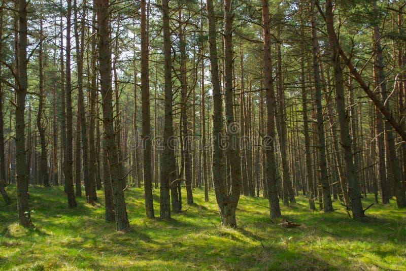 Sosnowy las parka narodowego Curonian mierzeja fotografia stock